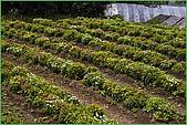 97.04.05(1)大屯花卉農場:nEO_IMG_IMGP7521.jpg