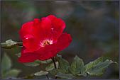 2009士林官邸玫瑰季:nEO_IMG_IMGP5504.jpg