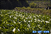 97.03.27藍天‧海芋‧竹子湖:nEO_IMG_IMGP7047.jpg