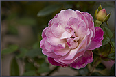 2009士林官邸玫瑰季:nEO_IMG_IMGP5505.jpg