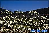 97.03.27藍天‧海芋‧竹子湖:nEO_IMG_IMGP7053.jpg