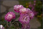 2009士林官邸玫瑰季:nEO_IMG_IMGP5506.jpg