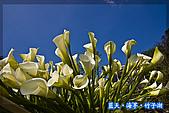 97.03.27藍天‧海芋‧竹子湖:nEO_IMG_IMGP7150.jpg