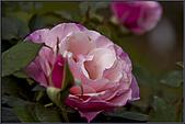2009士林官邸玫瑰季:nEO_IMG_IMGP5507.jpg