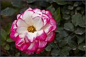2009士林官邸玫瑰季:nEO_IMG_IMGP5508.jpg