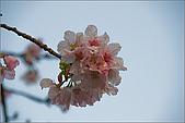 98.03.05天元宮‧吉野櫻進行式:nEO_IMG_IMGP6594.jpg
