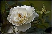 2009士林官邸玫瑰季:nEO_IMG_IMGP5510.jpg