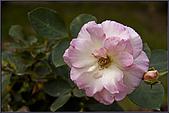 2009士林官邸玫瑰季:nEO_IMG_IMGP5512.jpg