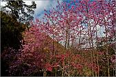 98.02.22武陵農場遇見櫻花的那一刻:1003.jpg