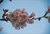 98.03.05天元宮‧吉野櫻進行式:nEO_IMG_IMGP6598.jpg
