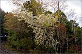 2009阿里山櫻花季:IMGP7492.jpg