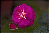 2009士林官邸玫瑰季:nEO_IMG_IMGP5513.jpg