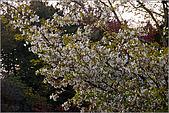 2009阿里山櫻花季:IMGP7493.jpg