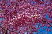 98.02.22武陵農場遇見櫻花的那一刻:1005.jpg