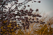 2009阿里山櫻花季:IMGP7494.jpg