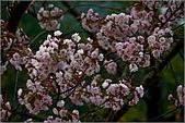 2009阿里山櫻花季:IMGP7495.jpg