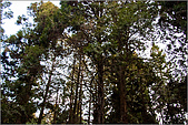2009阿里山櫻花季:IMGP7498.jpg