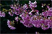 98.02.22武陵農場遇見櫻花的那一刻:1007.jpg