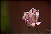 2009士林官邸玫瑰季:nEO_IMG_IMGP5515.jpg