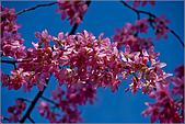 98.02.22武陵農場遇見櫻花的那一刻:1008.jpg