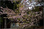 2009阿里山櫻花季:IMGP7508.jpg