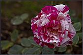 2009士林官邸玫瑰季:nEO_IMG_IMGP5516.jpg