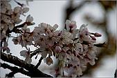 2009阿里山櫻花季:IMGP7510.jpg