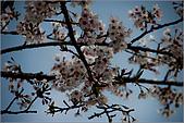 2009阿里山櫻花季:IMGP7511.jpg