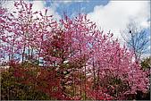 98.02.22武陵農場遇見櫻花的那一刻:1012.jpg