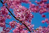98.02.22武陵農場遇見櫻花的那一刻:1013.jpg
