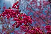 98.02.22武陵農場遇見櫻花的那一刻:1014.jpg