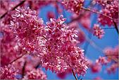 98.02.22武陵農場遇見櫻花的那一刻:1015.jpg