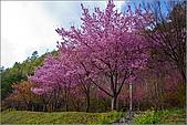 98.02.22武陵農場遇見櫻花的那一刻:2001.jpg