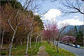 98.02.22武陵農場遇見櫻花的那一刻:2003.jpg