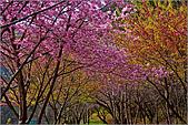 98.02.22武陵農場遇見櫻花的那一刻:2004.jpg