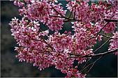 98.02.22武陵農場遇見櫻花的那一刻:2005.jpg