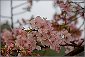 98.03.05天元宮‧吉野櫻進行式:nEO_IMG_IMGP6616.jpg