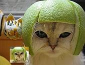 Hi, 派大星:貓戴柚子3.JPG
