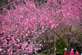 2015.02.07_武陵櫻花季-B:2015.02.07_武陵櫻花季0059.jpg