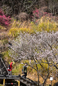 2015.02.07_武陵櫻花季-B:2015.02.07_武陵櫻花季0072.jpg