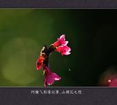 2013.02.01_山櫻花之戀:2013.02.01_山櫻花之戀-0004.jpg