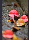 2013.10.24_雨中的欒樹:2013.10.24_雨中欒樹-0002.jpg
