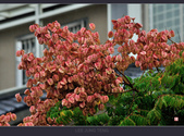 2013.10.24_雨中的欒樹:2013.10.24_雨中欒樹-0011.jpg
