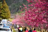 2015.02.07_武陵櫻花季-B:2015.02.07_武陵櫻花季0055.jpg