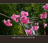 2013.02.14_嘉義頂石棹昭和櫻:2013.02.20_頂石棹昭和櫻-0008.jpg