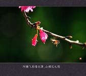 2013.02.01_山櫻花之戀:2013.02.01_山櫻花之戀-0015.jpg