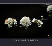 2013.01.26_鳥嘴山賞花趣:2013.01.26_鳥嘴山賞花趣_0011.jpg