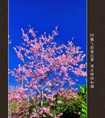2013.02.14_嘉義頂石棹昭和櫻:2013.02.20_頂石棹昭和櫻-0010.jpg
