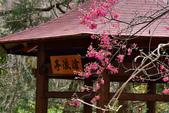 2015.02.07_武陵櫻花季-B:2015.02.07_武陵櫻花季0045.jpg