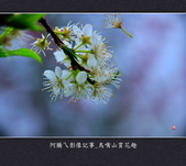 2013.01.26_鳥嘴山賞花趣:2013.01.26_鳥嘴山賞花趣_0016.jpg